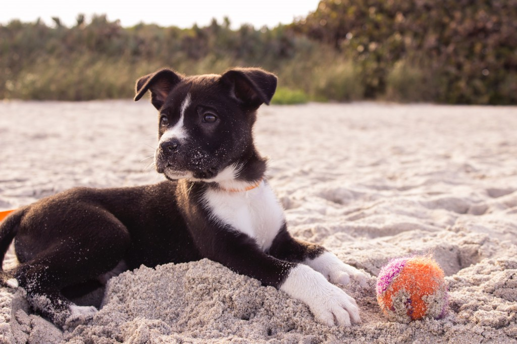 pet travel: dog at beach